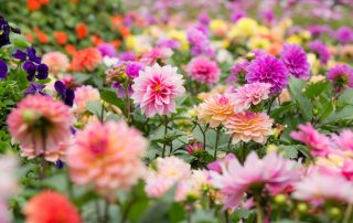 Dahlias in various colors