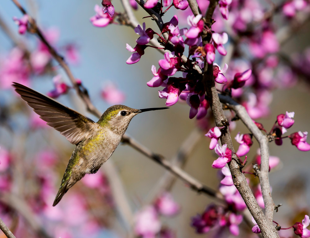 Attracting Hummingbirds To Your Garden 1