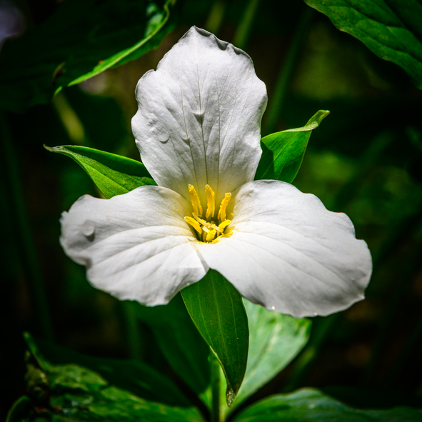 Macro of Trillium in Forest With Dark Background