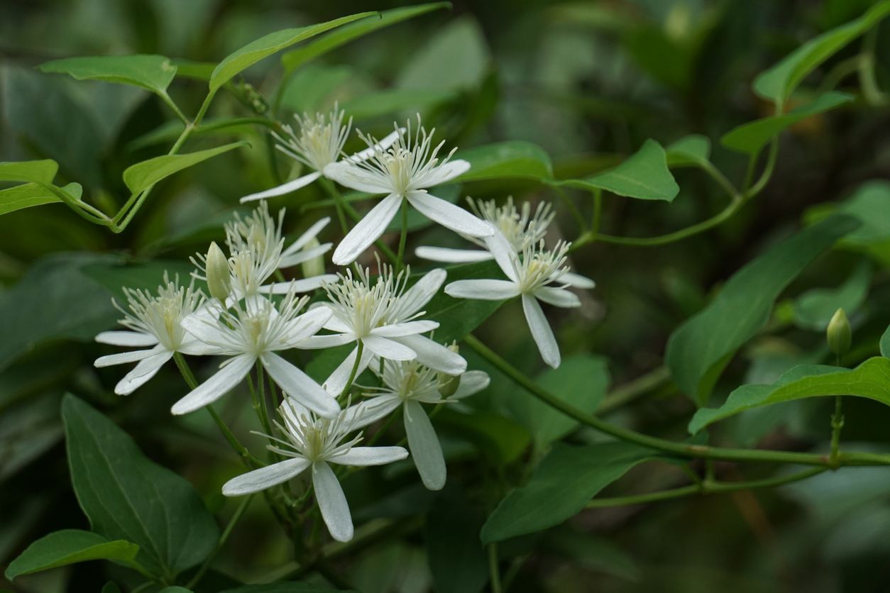 Sweet Autumn Clematis flower