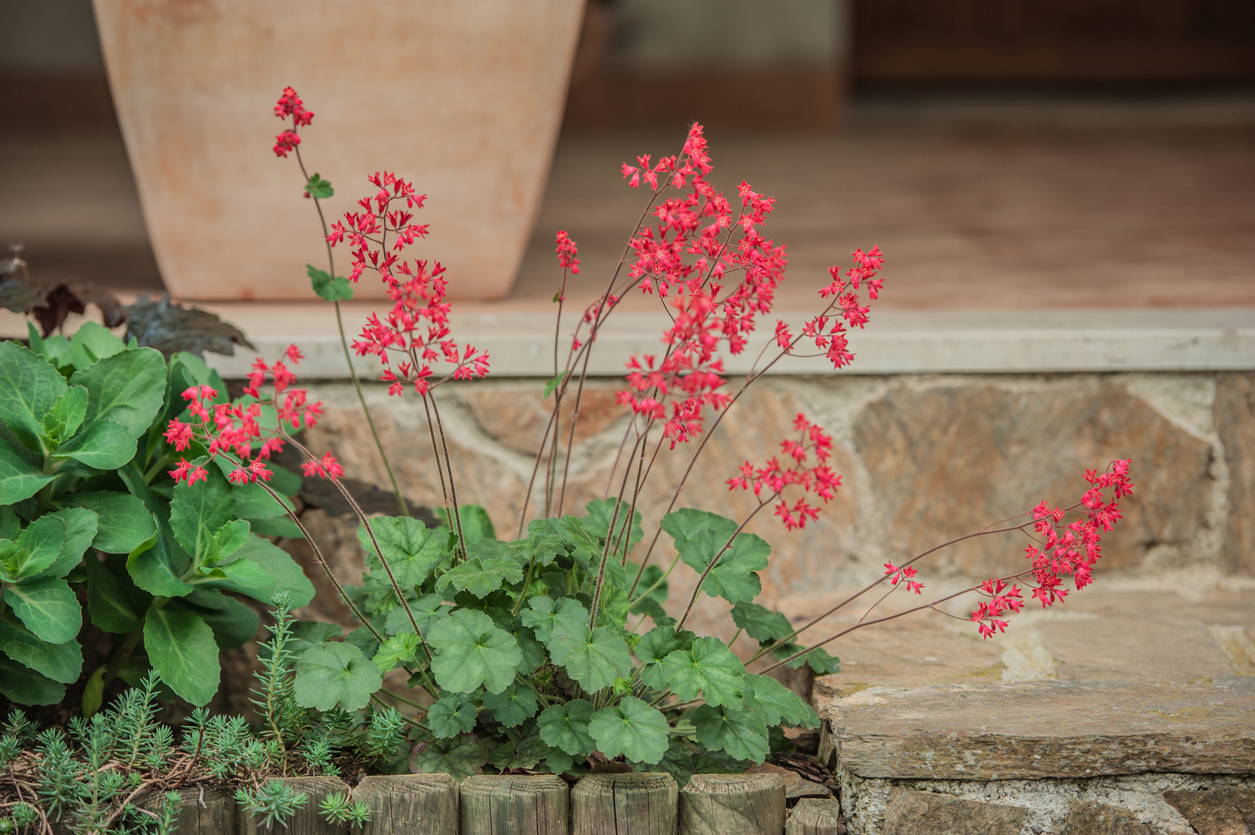 Coral Bells (Heuchera Brizoides) Flowers Planted at the House Entrance in Springtime
