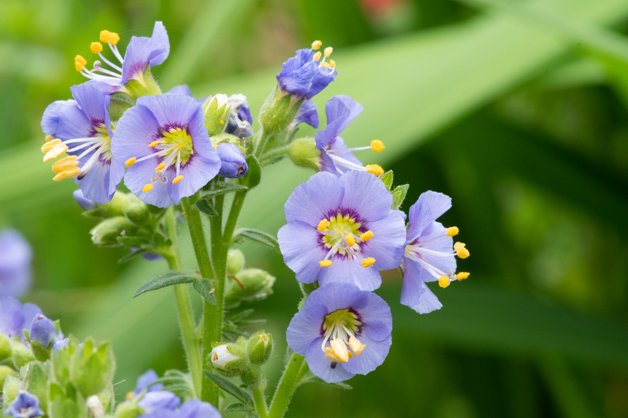 Northern Jacobs ladder (polemonium boreale) flowers in bloom