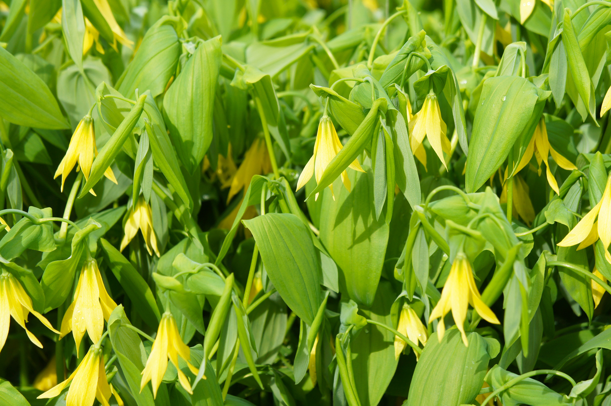 Uvularia grandiflora or bellwort or merrybells many yellow flowers with green