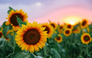Why Sunflowers Are So Impressive 1